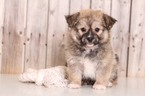 Havanese Puppy For Sale in MOUNT VERNON, Ohio,
