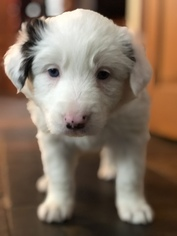 Border Collie Puppy For Sale in EMLENTON, PA, USA