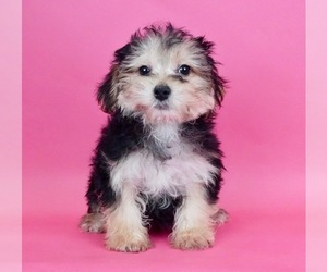 Morkie Puppy for Sale in WARSAW, Indiana USA