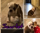 Olde English Bulldogge Puppy For Sale in BOWIE, MD,