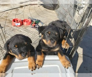 Rottweiler Puppy for Sale in FRESNO, California USA