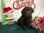 Small #48 Labrador Retriever
