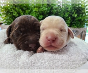 Labrador Retriever Puppy for Sale in MIAMI, Florida USA