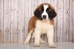 Saint Bernard Puppy For Sale in MOUNT VERNON, Ohio,