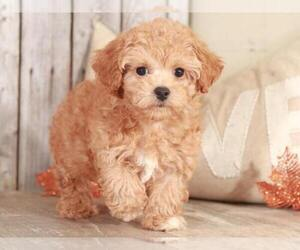 Bichpoo Puppy for sale in MOUNT VERNON, OH, USA