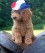 F1 Goldendoodle Puppies