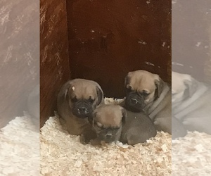 Puggle Puppy for Sale in EASTON, Massachusetts USA