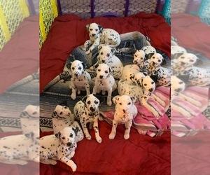 Dalmatian Puppy for sale in CHARLOTTE, NC, USA
