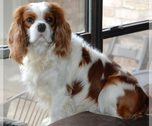 Father of the Cavalier King Charles Spaniel puppies born on 03/20/2019