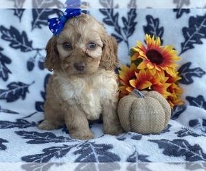 Cocker Spaniel-Poodle (Miniature) Mix Dog for Adoption in CEDAR LANE, Pennsylvania USA