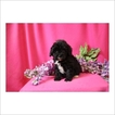 Cock-A-Poo-Poodle (Toy) Mix Puppy For Sale in TUCSON, AZ, USA