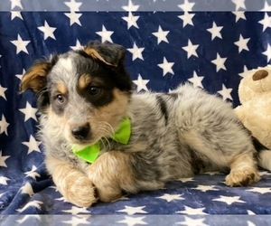 Australian Shepherd Dog for Adoption in LANCASTER, Pennsylvania USA