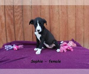 Border Collie-Mountain Feist Mix Puppy for sale in CLARKRANGE, TN, USA