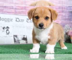 Pembroke Welsh Corgi Puppy for sale in BEL AIR, MD, USA