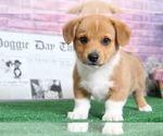 Phillip Attractive Little Male Corgi Puppy