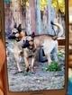 Belgian Malinois Puppy For Sale in SANTA CRUZ, CA, USA