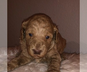 Goldendoodle (Miniature) Puppy for sale in AUSTIN, TX, USA