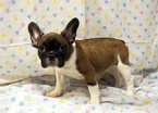 French Bulldog Puppy For Sale in ADRIAN, Michigan,