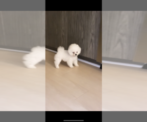 Pomeranian Puppy for sale in ARLINGTON, VA, USA