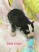 Siberian Husky Puppy For Sale in FAIRFIELD, Illinois,