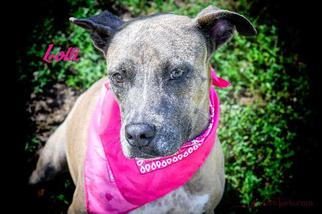 Lolli - Labrador Retriever / Pit Bull Terrier / Mixed Dog For Adoption