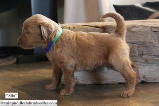 Australian Labradoodle Puppy For Sale in WACO, TX