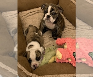 Bulldog Puppy for sale in N LAS VEGAS, NV, USA
