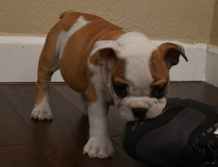 AKC Red and White Male Puppy