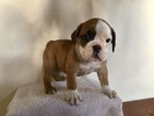 Olde English Bulldogge Puppy For Sale in BYERS, CO, USA