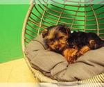 Puppy 5 Yorkshire Terrier