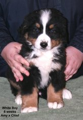 Bernese Mountain Dog Puppy For Sale in HOPKINSVILLE, KY, USA