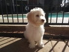 Maltipoo Puppy For Sale in AUSTIN, TX, USA