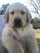 Golden Retriever Puppy For Sale in MESA, AZ, USA