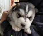 Puppy 6 Akita-Alaskan Malamute Mix