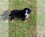 Small #10 Bernese Mountain Dog