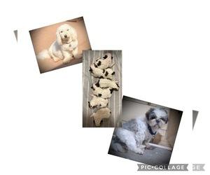Zuchon Puppy for Sale in MARENGO, Wisconsin USA