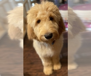 Goldendoodle Puppy for Sale in WAKE FOREST, North Carolina USA