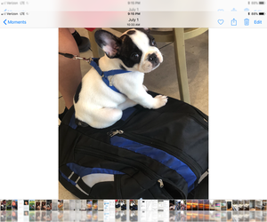 French Bulldog Puppy for sale in FISHER ISLAND, FL, USA