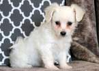 Bichon Puppy for Sale