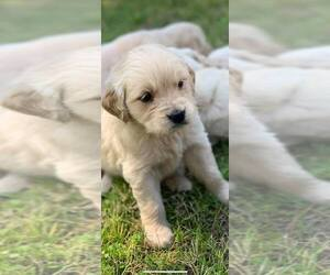 Golden Retriever Puppy for sale in BLOOMBURG, TX, USA
