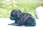 Small #18 Poodle (Standard)