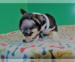Small Photo #3 Chihuahua Puppy For Sale in PATERSON, NJ, USA
