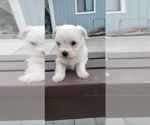Maltese-Maltipoo Mix Puppy for sale in ROYAL OAKS, CA, USA