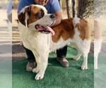 Small #16 Saint Bernard