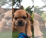 Small Photo #12 Cavalier King Charles Spaniel-French Bulldog Mix Puppy For Sale in LAWRENCEVILLE, GA, USA