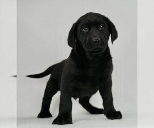 Labrador Retriever Puppy for Sale in NAPPANEE, Indiana USA