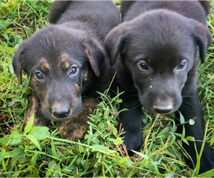 Shepradors Puppy for sale in HARRISON, AR, USA