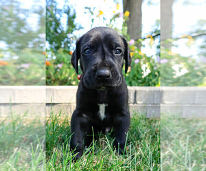 Great Dane Puppy for Sale in DOWNERS GROVE, Illinois USA