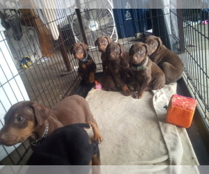 Doberman Pinscher Puppy for Sale in PASCO, Washington USA