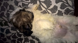 Shih Tzu Puppy for sale in LINCOLN, AR, USA